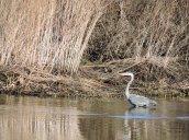 Great Blue Heron marsh Lake Ontario3