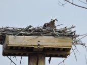 osprey Rte 57