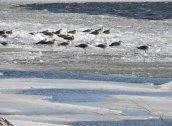 ringbilled gulls Lake Neatahwanta