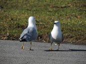 ringbilled gulls lake