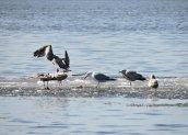 ringbilledgulls ice lake