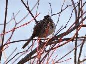 Song Sparrow Lake Neatahwanta