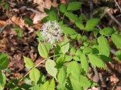 baneberry (maybe) flower GHL