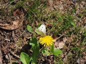 cabbage white butterfly dandelion GHL