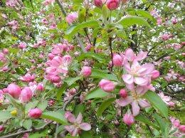 crab apple tree yard