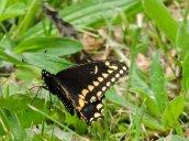 eastern black swallowtail butterfly Recreation Park2