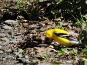 goldfinch RHL