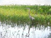 Great Blue Heron Lake N Trail