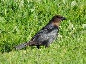male cowbird Granby