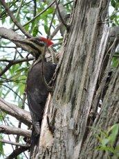 Pileated Woodpecker LN