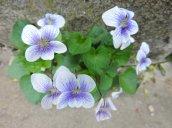 violets yard 2