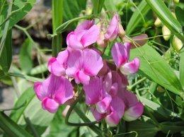 sweet pea flower Linear Park