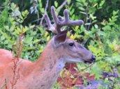 buck white-tailed deer next door2