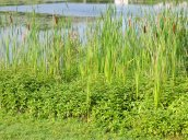 cattails Glimmerglass Lagoon Oswego State Campus