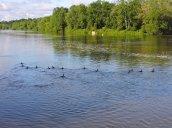 duck races Oswego River