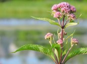 wildflower Glimmerglass Lagoon