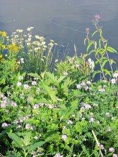 wildflowers Oswego River