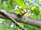 yellow bird Oswego State Campus
