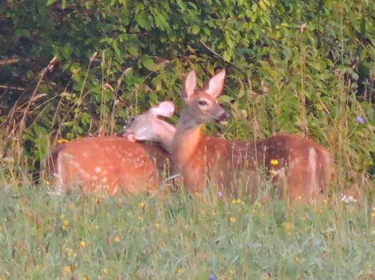 bathing deer field