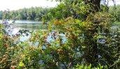 berries Oswego River Great Bear