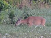 deer field (3)