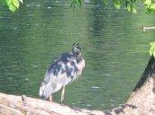 Great Blue Heron shadows Oswego River Fulton