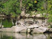 Great Blue Herons Oswego River Fulton