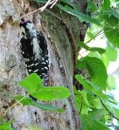 hairy woodpecker Granby Getaway