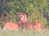 kissing deer field
