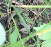 northern leopard frog Great Bear