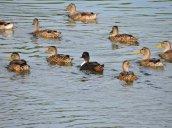 swimming American Black Ducks Oswego River Fulton