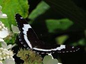 white admiral butterfly garden