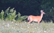 white-tailed deer field