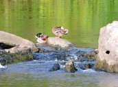 American Black Ducks Oswego River Fulton