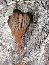 Bleeding heart tree North Bay