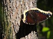 morning cloak butterfly Granby