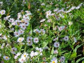 white wood asters flowers Great Bear