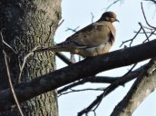 mourning dove Granby