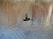 flying duck Oswego River Fulton