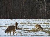 four deer field