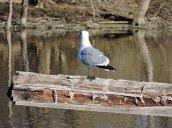 gull Oswego River Fulton