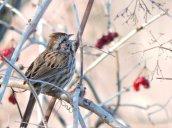 singing sparrow Oswego River Fulton