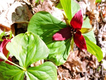 red trillium Great Bear