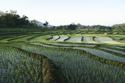 rice paddies in Indonesia