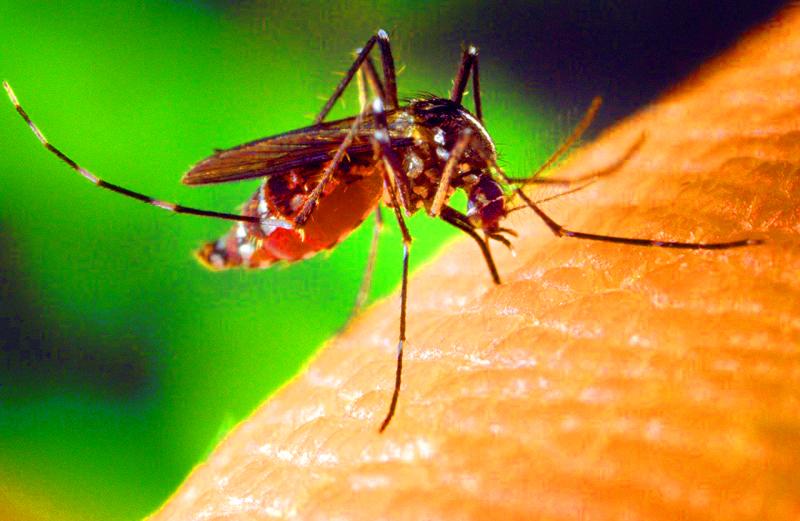 Malarial mosquito