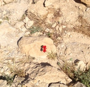 While hiking Qumran, I was amazed how these beautiful flowers seemed to grow in the midst of the desert.