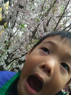Cherry Blossoms 21