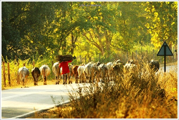 Cows on Bandhavgarh Jabalpur Road