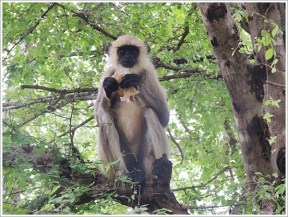 Omkareshwar Parikrama Monkey