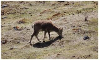 Goechala Trek with Wildboots; Blue Sheep Lamune